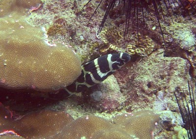Black-blotched Moray - juvenile