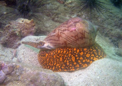 Orangespotted Cone Snail