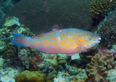Bluebarred Parrotfish - male