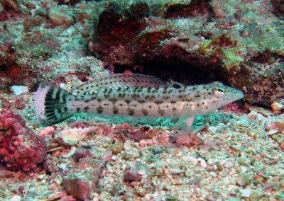 Speckled Sandperch - female