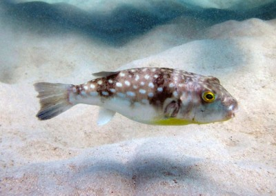 Milk-spotted Toadfish