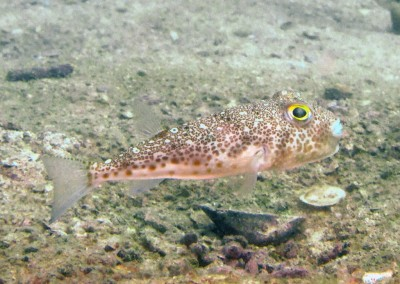 Orange-spotted Toadfish