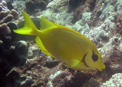 Blackeye Rabbitfish