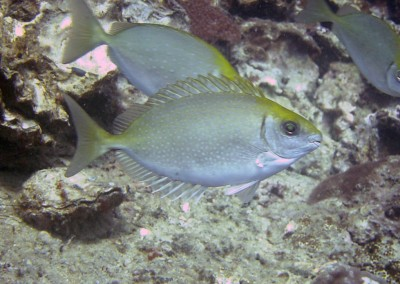 Forktail Rabbitfish