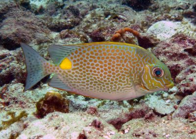 Golden Rabbitfish