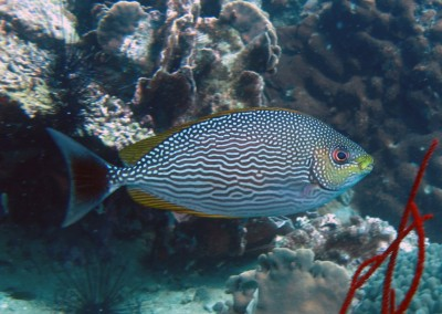 Java Rabbitfish