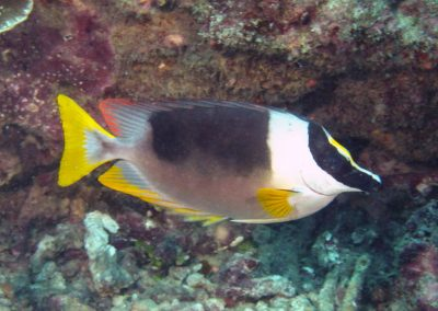 Magnificent Rabbitfish