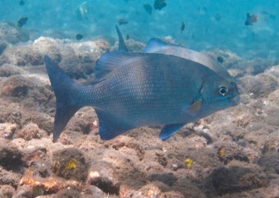 Randall's Rabbitfish