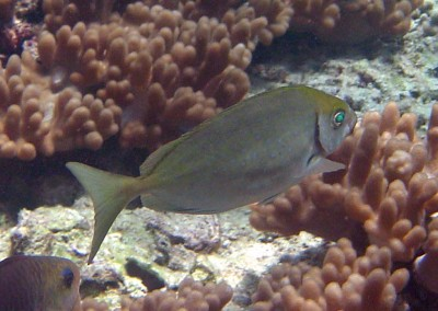 Whitespotted Rabbitfish