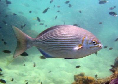 Lowfin Rudderfish
