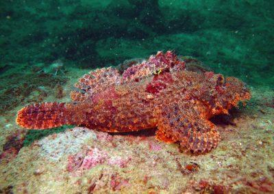 Tassled Scorpionfish (Andaman)