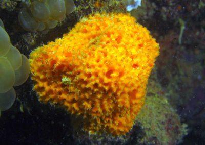Golden Sponge