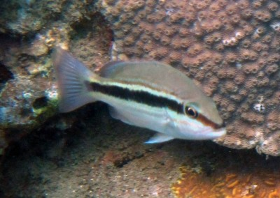 Dark-Tailed Seaperch - juvenile