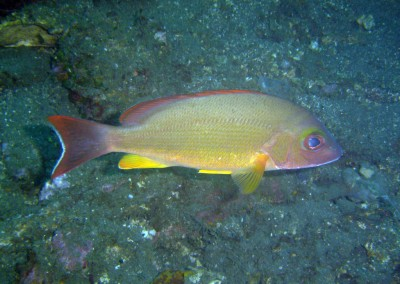Flametail Snapper