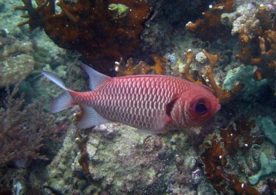 Pale Soldierfish