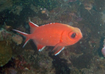 White-tipped Soldierfish