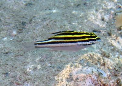 Twoline Spinecheek - juvenile
