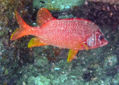 Long-jawed Squirrelfish