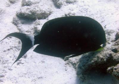 Palelipped Surgeonfish