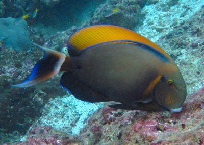 Roundspot Surgeonfish