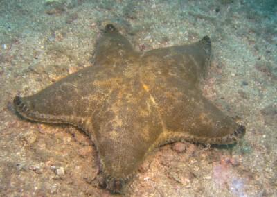 Cake Sea Star