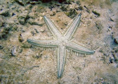 Comb Star