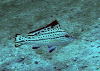 Painted Sweetlips - subadult