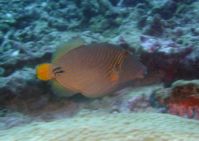 Orangestriped Triggerfish