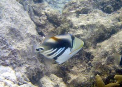 Picassofish