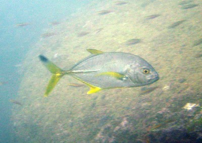 Blacktip Trevally