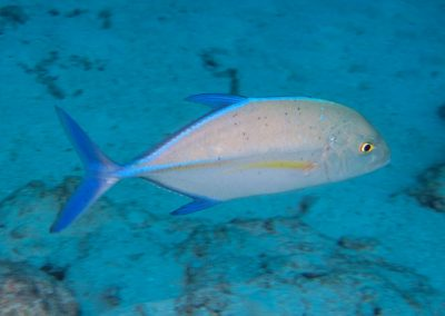 Bluefin Trevally