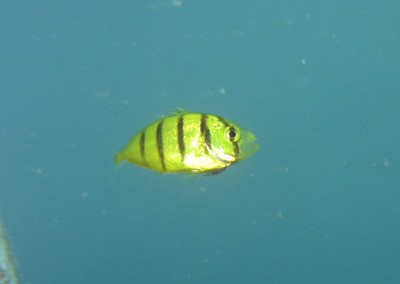 Golden Trevally - juvenile