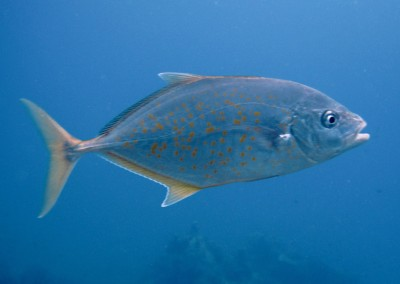 Orangespotted Trevally