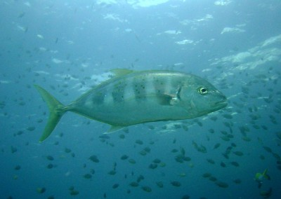 Yellow-dotted Trevally