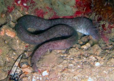 Tidepool Snake Moray