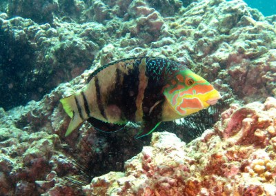 Barred Thicklip Wrasse - male