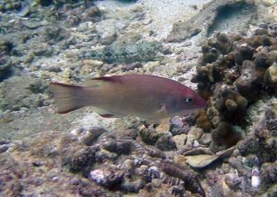 Bay of Bengal Hogfish