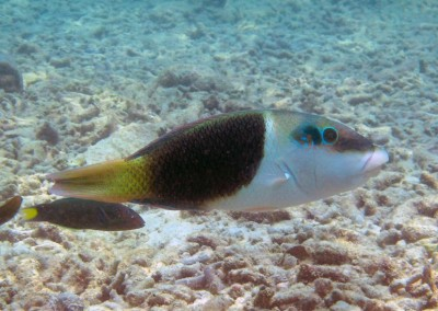 Blackedge Thicklip Wrasse - juvenile