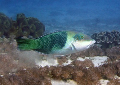 Blackedge Thicklip Wrasse - subadult