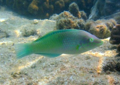 Pastel-green Wrasse - male