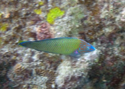 Purple Striped Wrasse