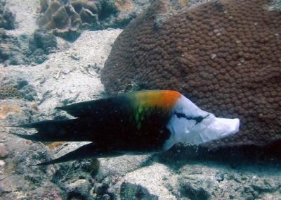 Slingjaw Wrasse - male
