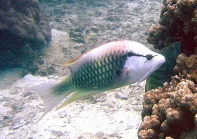 Slingjaw Wrasse - female subadult