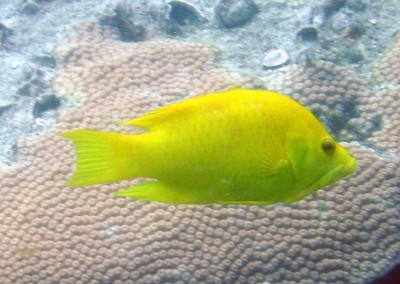 Slingjaw Wrasse - female