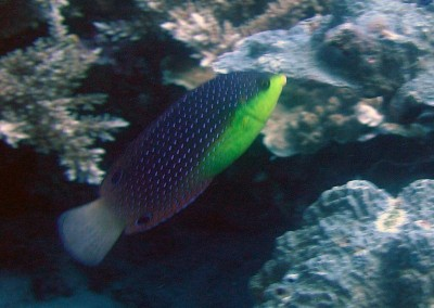 Yellowbreasted Wrasse