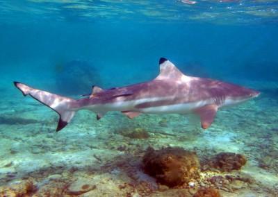 Reef Blacktip Shark