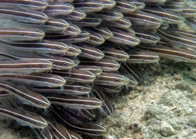 Striped Catfish - juveniles