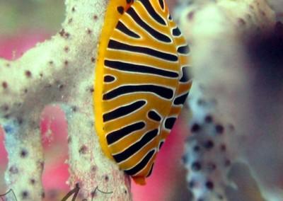 Tiger Ovulid