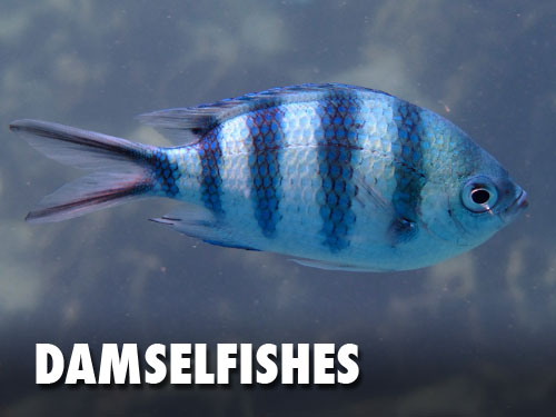 Damselfishes