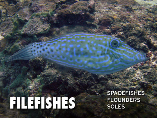Filefishes